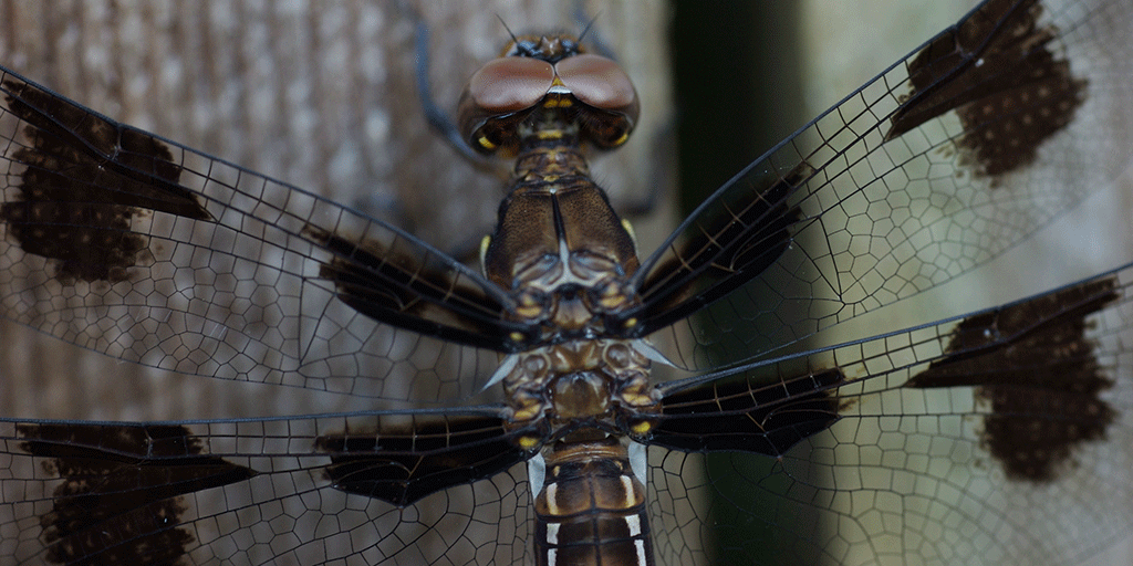 Libelle Nahaufnahme